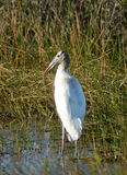 Wood Stork. S are endangered birds that live in the Everglades water system.  These rare birds are making a comeback thanks to conservation efforts and efforts Stock Photo