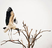 Wood Stork in tree. A wood stork lands on a bare tree royalty free stock photos