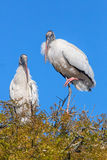 Wood Stork in Tree Stock Photo