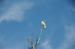 Wood Stork in Treetop Royalty Free Stock Image