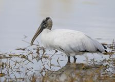 Wood Stork wading in a Florida marsh Royalty Free Stock Photo