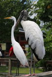 Wood stork and white heron. A Wood Stork standing next to a White Heron Stock Photos