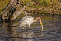 Wood Stork. Hunting on salt marshes in Big Talbot Island Royalty Free Stock Photo