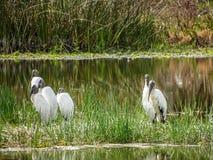 wood storkar i träsk fotografering för bildbyråer