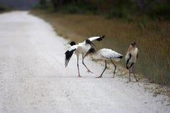 Wood Storks Stock Image