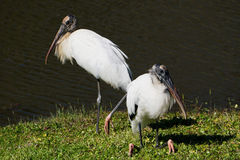 Wood Storks Stock Photos