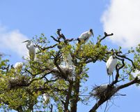 Wood storks and herons nesting in tree Stock Photos
