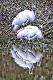 Wood Storks hunt togther along the shallow banks of the Egans Creek Greenway on Amelia Island, Florida. The wood stork is a large American wading bird in the stock images