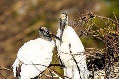 Wood Storks Stock Images
