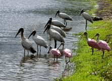 Wood storks and spoonbills, Florida Royalty Free Stock Images
