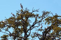 Wood storks in trees Royalty Free Stock Photo