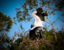 Wood storks with wings spread, mating Stock Photo