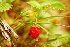 Wood strawberries and green leaves closeup Stock Photography