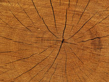 Wood structure. The structure of annual rings of wood spruce tree Stock Image