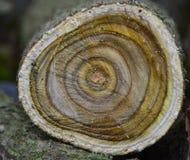Wood structure Sumac (Rhus), South Bohemia Stock Images