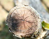 Wood Stump. Stock Images