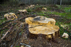 Wood. Stumps from trees in a wood stock image