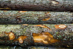 Wood. Stumps from trees in a wood Royalty Free Stock Photography
