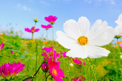 Wood table with Pink cosmea flower under sunlight and blue sky Royalty Free Stock Images