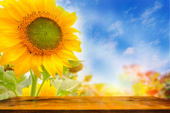 Wood table and Sunflowers field with lighting flare effect. Royalty Free Stock Photos