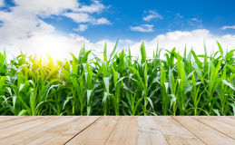 Wood table top with corn farming Royalty Free Stock Image