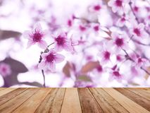 Wood table top over pink cherry blossoms flower in full bloom. Spring season. Montage style to display the product Stock Images