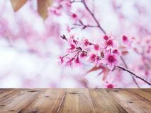 Wood table top over pink cherry blossoms flower in full bloom. Spring season. Montage style to display the product Stock Image