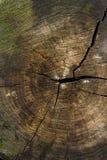 Wood textur av den cutted trädstammen Mossa och svamp som växer på th Royaltyfria Foton
