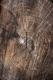 Wood textur av den cutted trädstammen Mossa och svamp som växer på th Fotografering för Bildbyråer