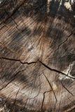 Wood textur av den cutted trädstammen Mossa och svamp som växer på th Arkivbilder