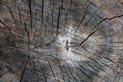 Wood textur av den cutted trädstammen Mossa och svamp som växer på th Arkivfoton