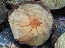 Wood textur av den klippta trädstammen Royaltyfria Foton