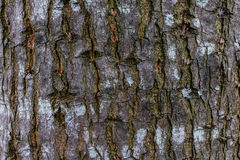 Wood textur, detaljerad textur av det tända poppelskället Arkivbilder