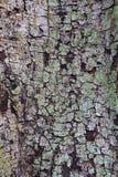 Wood textur för skäll Fotografering för Bildbyråer