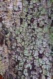 Wood textur för skäll Arkivbilder