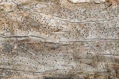 Wood textur med många termithål Fotografering för Bildbyråer