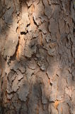 Wood texture bark. The sun was shining wood texture bark in the daytime Royalty Free Stock Photos