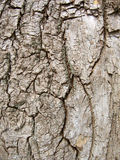 Wood texture of bark tree. Stock Image