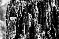 Wood texture black&white Royalty Free Stock Photography
