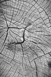 Wood texture cut tree trunk Royalty Free Stock Image