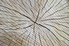 Wood texture cut tree trunk Royalty Free Stock Photography