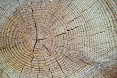 Wood texture cut tree trunk. Background Stock Images