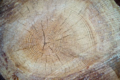 Wood texture cut tree trunk Royalty Free Stock Photos