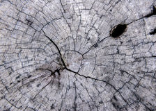 Wood texture of cut tree trunk Royalty Free Stock Photography
