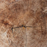Wood texture of cut tree trunk. Royalty Free Stock Images