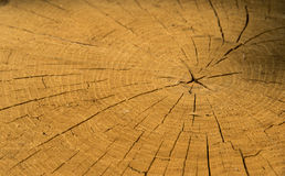 Wood texture of cutted tree Stock Images