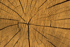 Wood texture of cutted tree Royalty Free Stock Images