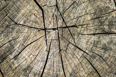 Wood texture of cutted tree trunk Royalty Free Stock Images