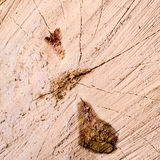 Wood texture of cutted tree trunk Royalty Free Stock Photo