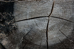 Wood texture of cutted tree trunk. Moss and fungus growing on th Royalty Free Stock Photo